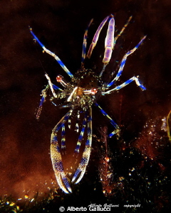 Periclimenes aegylios by Alberto Gallucci 